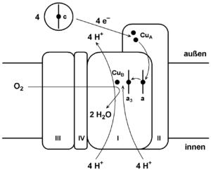 Cytochrome c oxidase - Image: Komplex IV