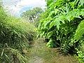 Korina 2012-06-12 Heracleum mantegazzianum 1.jpg