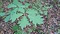 Korina 2018-09-01 Quercus rubra 4.jpg