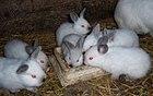 Króliki kalifornijskie californian rabbits.jpg