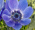 category close ups of anemone coronaria flowers wikimedia commons. Black Bedroom Furniture Sets. Home Design Ideas