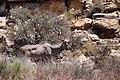 Kudu-1843 - Flickr - Ragnhild & Neil Crawford.jpg