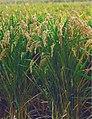 LPCC-663-Mata d'arròs japonica.jpg