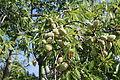 La Palma - Puntagorda - El Roque - Prunus dulcis 02 ies.jpg
