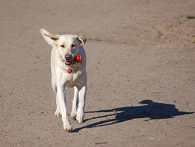 Labrador retriever beim apportieren.jpg