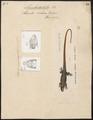 Lacerta velox - 1700-1880 - Print - Iconographia Zoologica - Special Collections University of Amsterdam - UBA01 IZ12400105.tif