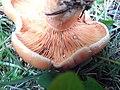 Lactarius deliciosus vlasina 2.jpg