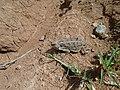 Lagarto Cornudo; Camaleón Cornudo; Phrynosoma 02.jpg