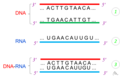 Lai axit nuclêic Nucleic acid hybridization.png