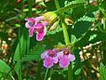 Lamiaceae - Melittis melissophyllum-2.JPG