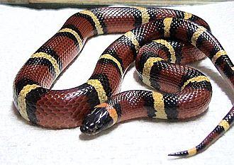 Milk snake - Mexican milk snake, L. t. annulata