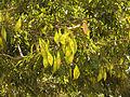 Lancepod Tree (16433408360).jpg