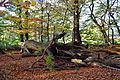 Langes Tannen - Umgestürzter Baum 01.jpg