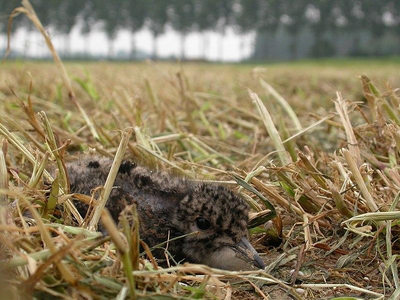 Vanellus vanellus chick, Wimmertingen, Limburg, Belgium