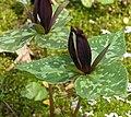 Large Toadshade Trillium cuneatum Flower 2736px.jpg