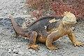 Large marine iguana, 2009.jpg