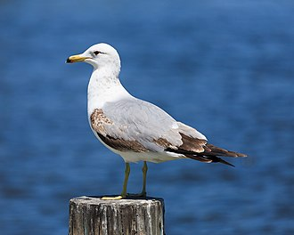California gull - California gull in Palo Alto, California
