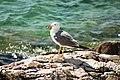 Larus michahellis, Rabac, Croatia (223594693).jpg