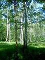 Las brzozowy w letniej szacie - panoramio (4).jpg