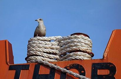 Lashing on bollard on the ship Gunnar Thorson.jpg