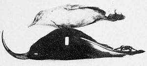 Laysan millerbird - Laysan millerbird and black mamo specimens in 1901