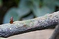 Leafcutter ant at Chester Zoo 1.jpg
