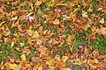 Leaves in the Quarry, Shrewsbury7240).jpg