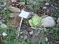 Lechuga de tierra Graptopetalum paraguayense del Jardín Botánico de Mérida.JPG