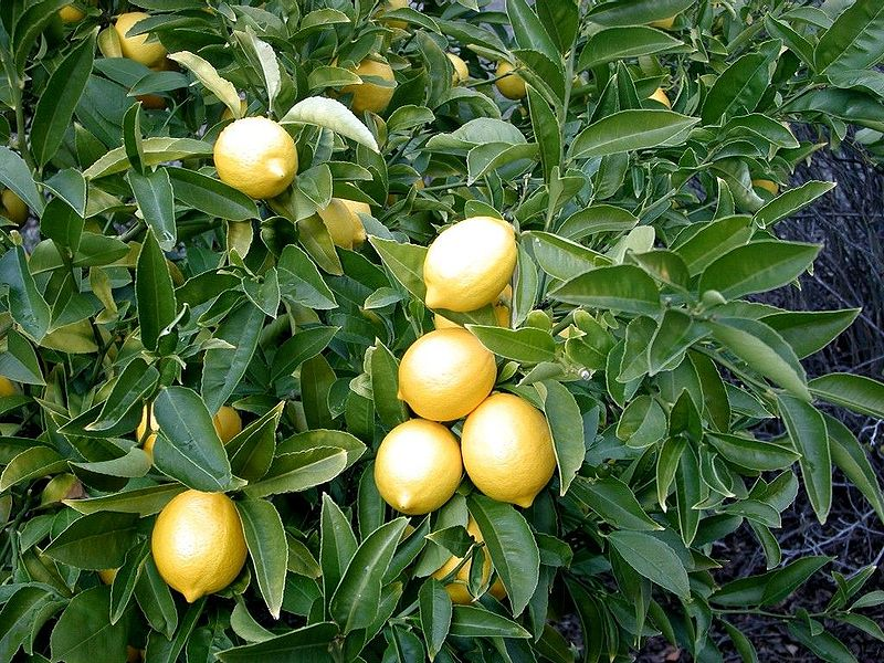 drzewo cytrynowe