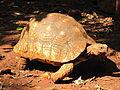 Leopard tortoise in Giraffe Centre 2.JPG