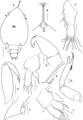 Lepeophtheirus elegans parasite130014-fig4.tif