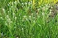 Lepidium campestre kz10.jpg
