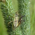 Leptopterna dolabrata Aschenburg 01.jpg