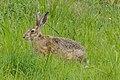 Lepus europaeus SNY01811 (51320041509).jpg