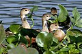Lesser Whistling-ducks- Resting hidden inside the foilage I IMG 0922.jpg