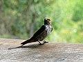Lesser striped swallow (393189442).jpg