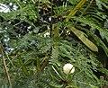 Leucaena glauca.jpg