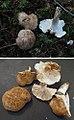 Leucopaxillus gentianeus (33231229820).jpg