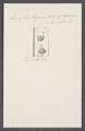 Leucophra trigona - - Print - Iconographia Zoologica - Special Collections University of Amsterdam - UBAINV0274 113 16 0029.tif