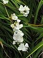 Libertia chilensis - University of California Botanical Garden - DSC08909.JPG