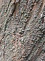 Lichen-csps.jpg