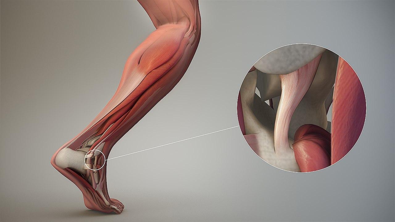 Band (Anatomie) - Wikiwand