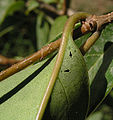 Ligustrum extrafloral nectaries.jpg