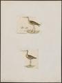 Limosa fedoa - - Print - Iconographia Zoologica - Special Collections University of Amsterdam - UBA01 IZ17400029.tif