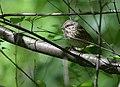 Lincoln's Sparrow (34176888940).jpg