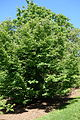Lindera praecox - Arnold Arboretum - DSC06757.JPG