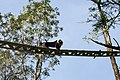 Lion tailed macaque canopy bridge.jpg