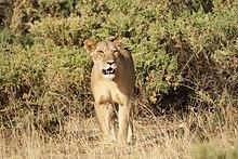 Lioness Samburu 2.jpg