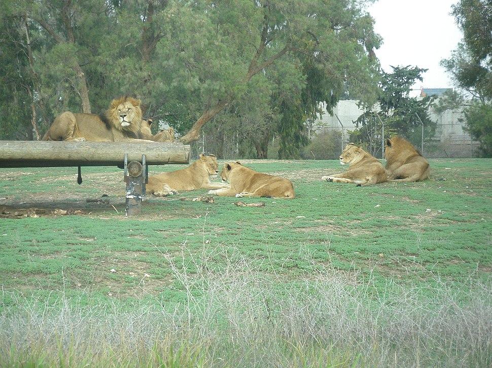 Lions at Zoological Center of Tel Aviv-Ramat Gan