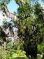 Lisbon botanical garden 26-Yucca elephantipes var. gigantea.JPG